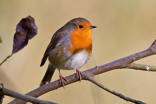 Robin by Kevin B Agar, via Flickr