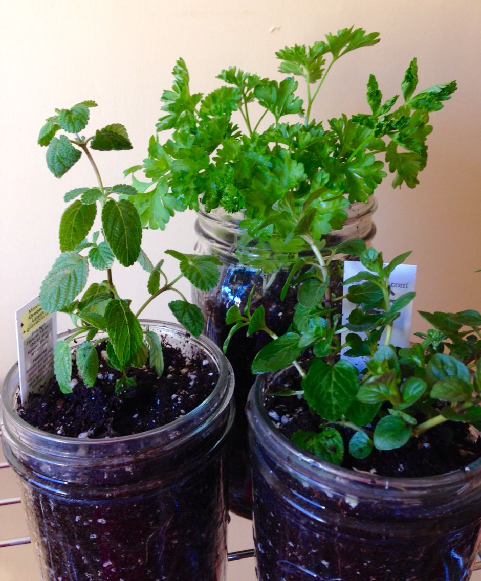 Trying out growing herbs in jars. Parsley, oregano and mint!