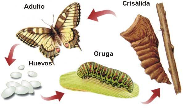 ciclo mariposa   Para Talleres Infantiles   Pinterest   Metamorfosis ...
