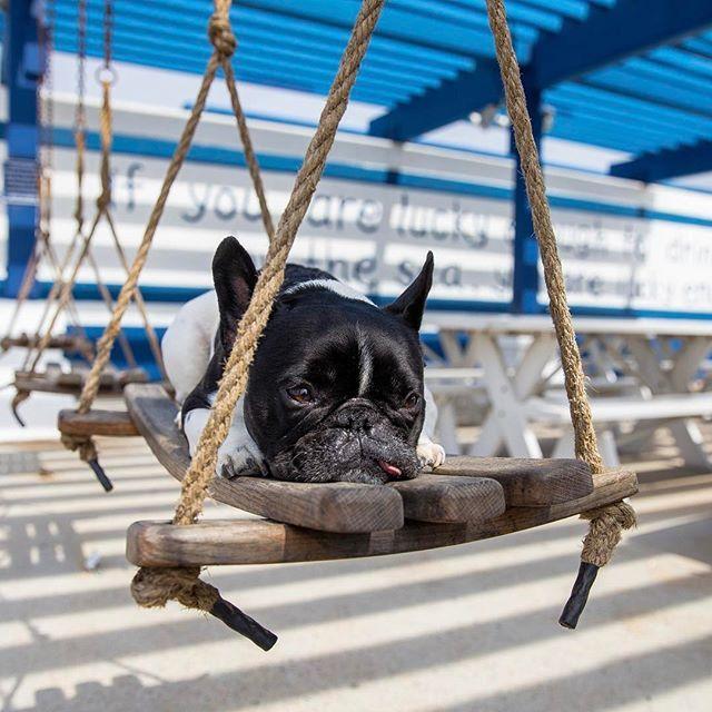 French Bulldog Thefrenchprinceofbelair Sealegs Weekend