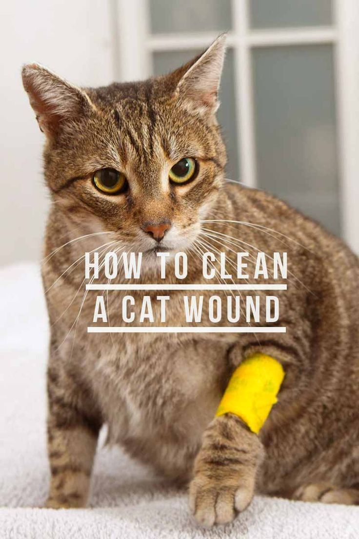 How To Clean A Cat Wound And When To Ask Your Vet For