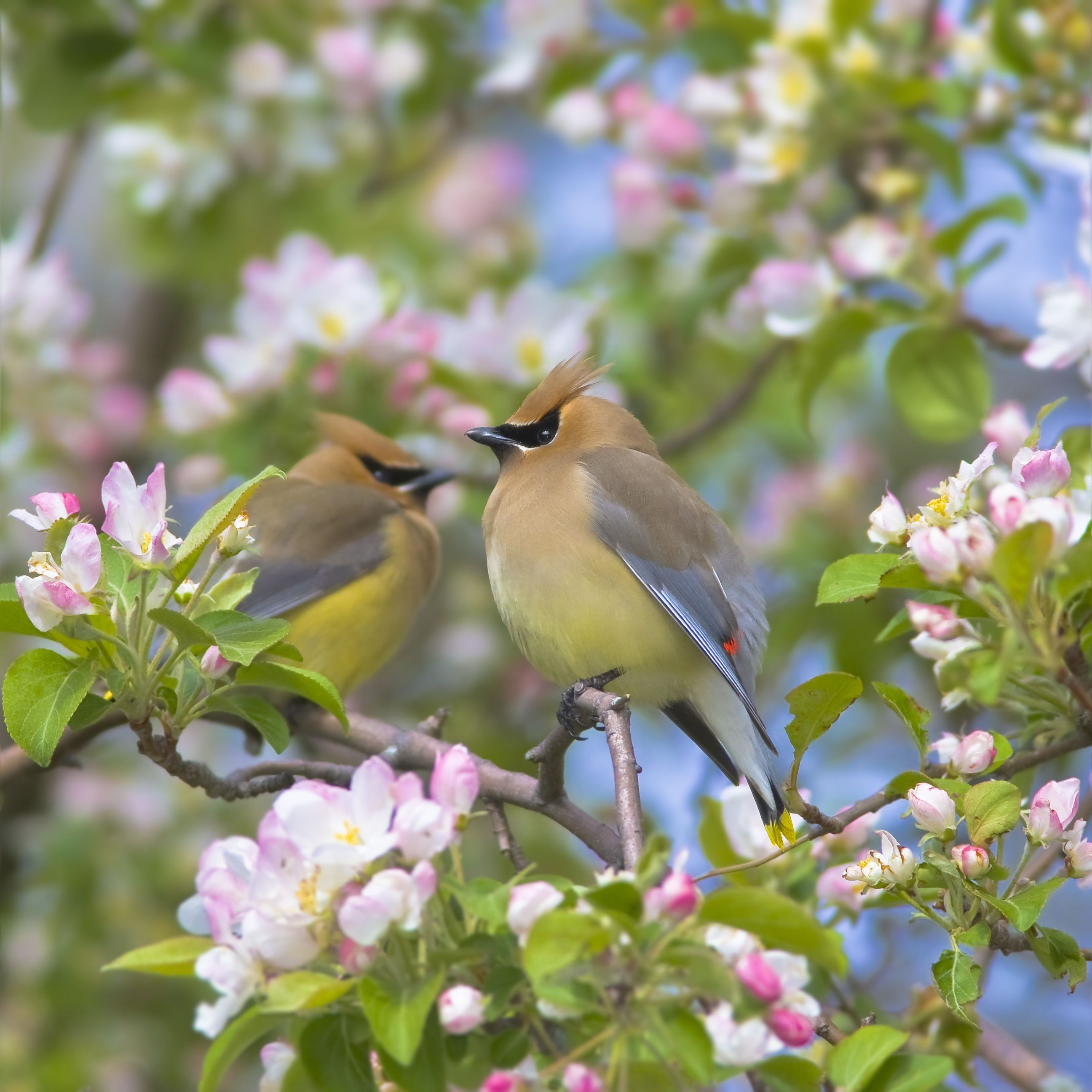 Cedar Waxwings Bird pictures, Beautiful birds, Bird photo