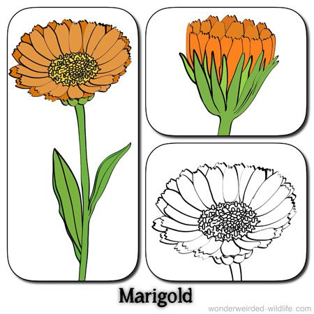 picture of marigold flowers calendula flower pictures 1 stylised marigold drawings with the label