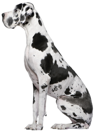 Great Dane Harlequin Dogue Alemao Caes Cao De Guarda