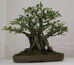 Ficus Bonsai Trees Types Of