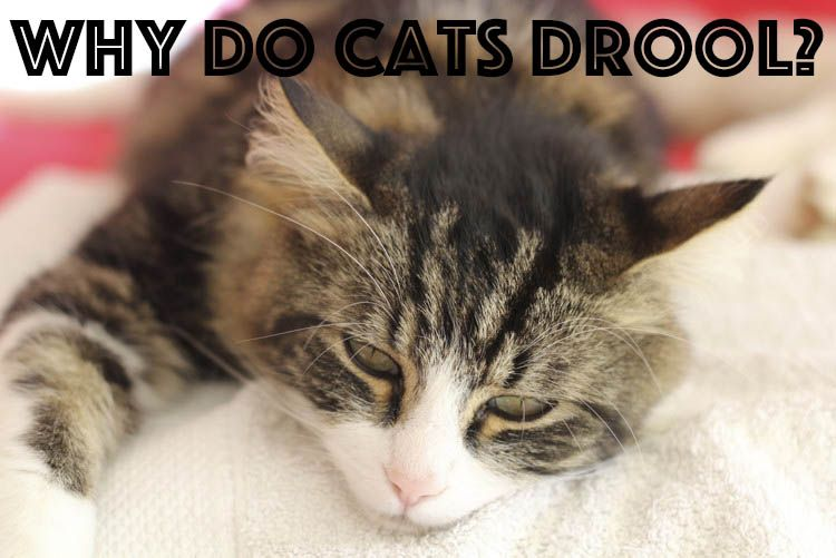 Is your kitty leaking from her mouth? #catfacts #drooling