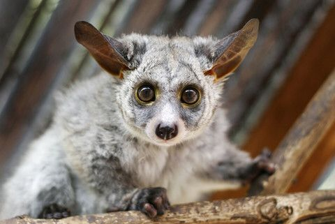 bush baby or greater galago animals pinterest animals, petsbush baby or greater galago