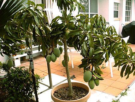 principales variedades de mango cultivadas en españa | graficos
