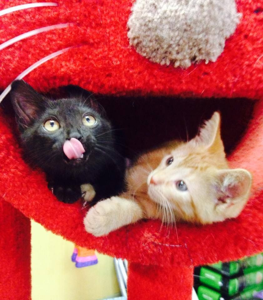 Kittens For Adoption At Earth Pets Of Gianesville 3 Kitten Adoption Pet People Pets