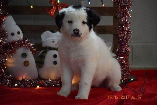 Border Collie-Norwegian Elkhound Mix puppy for sale in