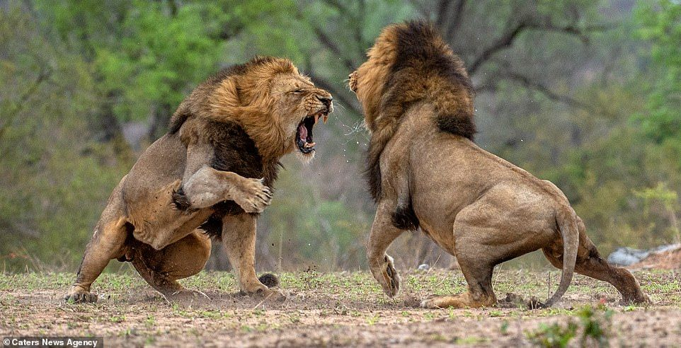 Lions in brutal fight over who will lead their pride in
