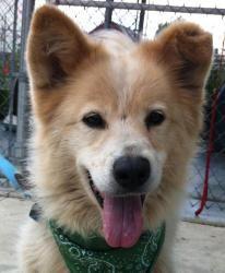 Adopt Cotton On Samoyed Dogs Samoyed Dogs