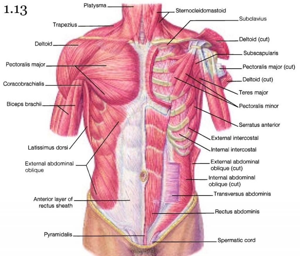 Images Of Torso Muscle With Label Muscles Of The Upper