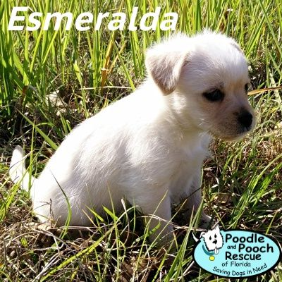 Esmeralda is a growing Maltese and Terrier blend puppy