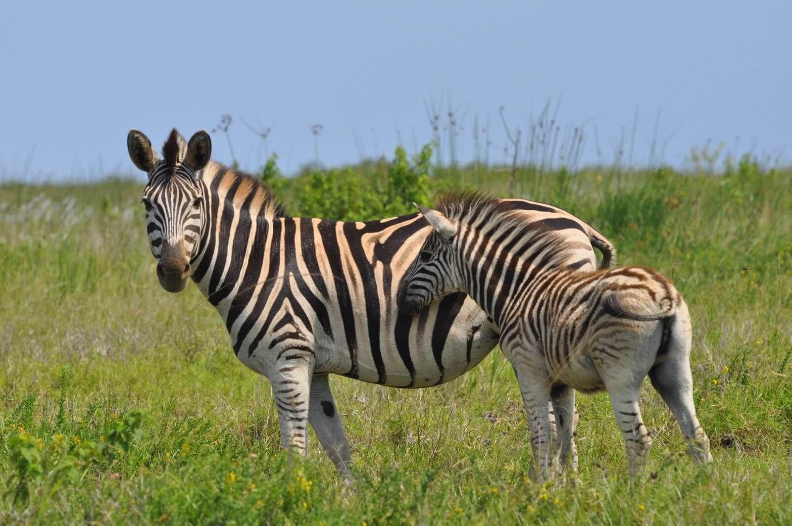 картинки львов пантеры и зебра такой новый формат