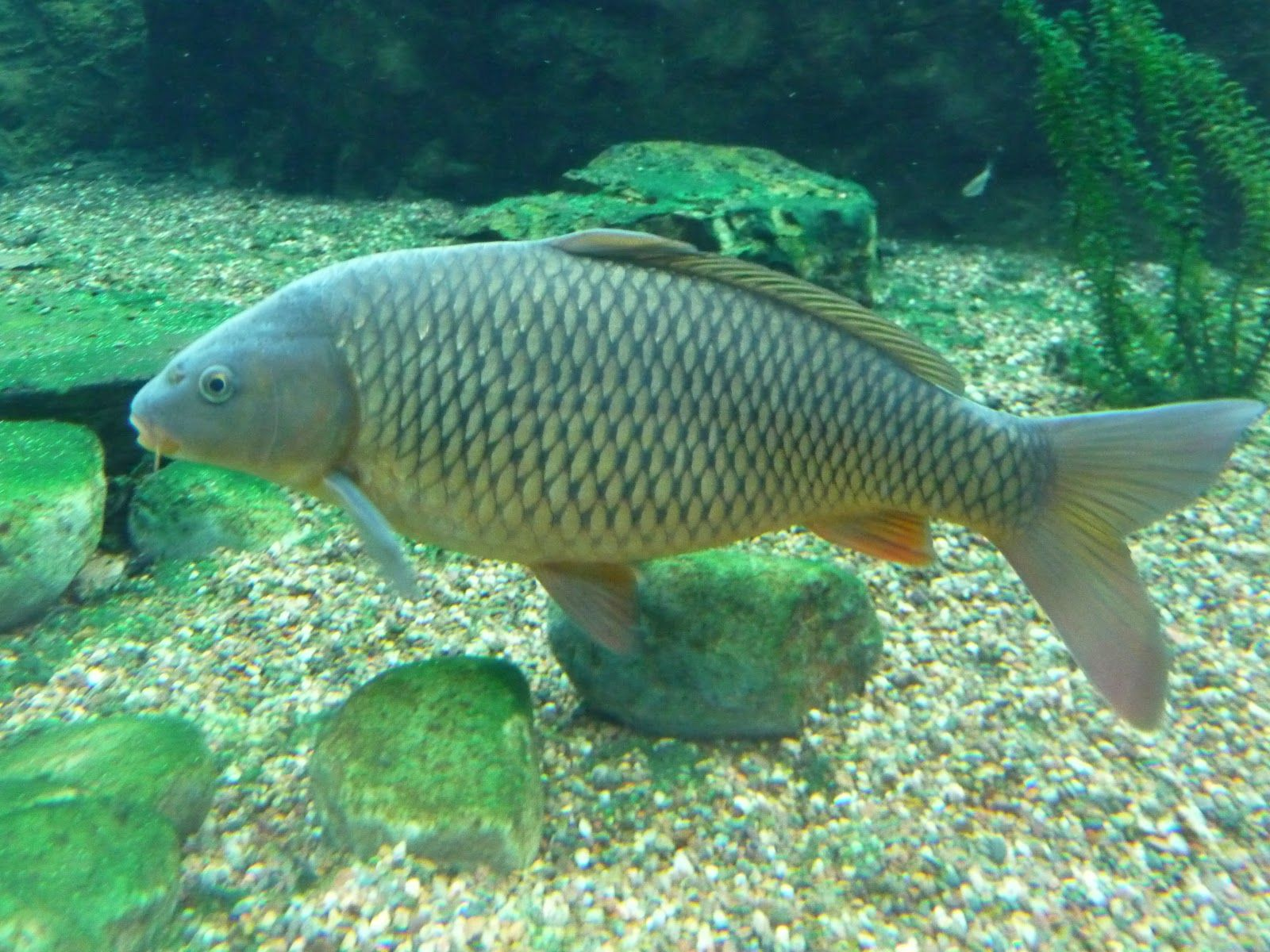 Virginia Fishes Common Carp Common Carp Fish Carp Fishing
