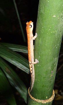 Bolitoglossa celaque es una especie de salamandras en la familia Plethodontidae.  Es endémica de Honduras. Su hábitat natural son los montanos húmedos tropicales o subtropicales. Está amenazada de extinción debido a la destrucción de su hábitat.