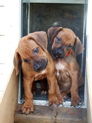 Cool Rhodesian Ridgeback Brown Adorable Dog - 4a6e359198883dd2fd0ee152173bee9e  HD_259999  .jpg