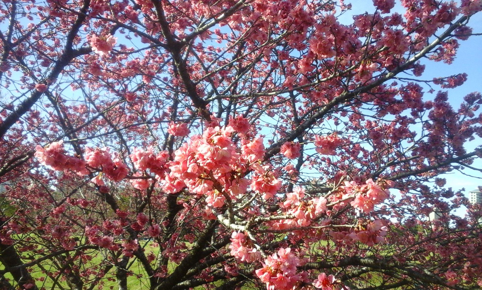 Cherry Blossoms, Botanical Garden, Curitiba