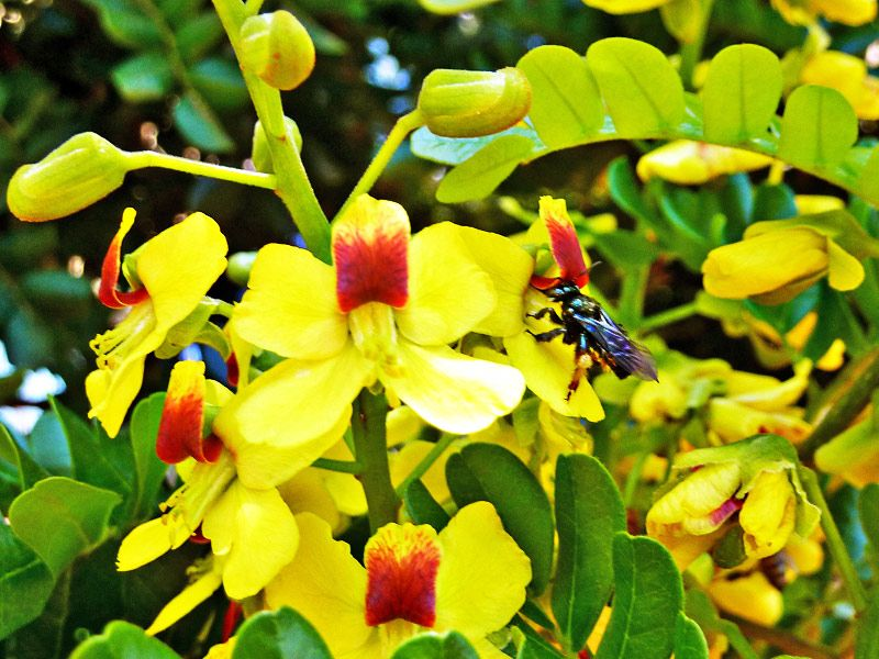 Pau brasil caesalpinia echinata casa da rvore pinterest brasil arvores e folhas - Caesalpinia gilliesii cultivo ...