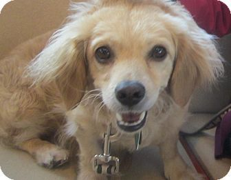 Oak Ridge Nj Dachshund Cockapoo Mix Meet Junebug A Dog For Adoption Dog Adoption Dachshund Mix Dachshund Adoption