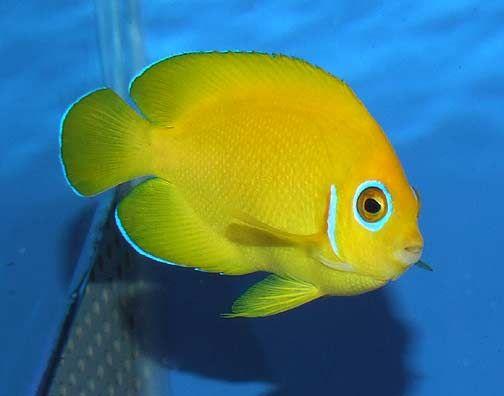 Lemon Peel Angelfish Saltwater Fish Tanks Marine Fish Tropical Fish Aquarium