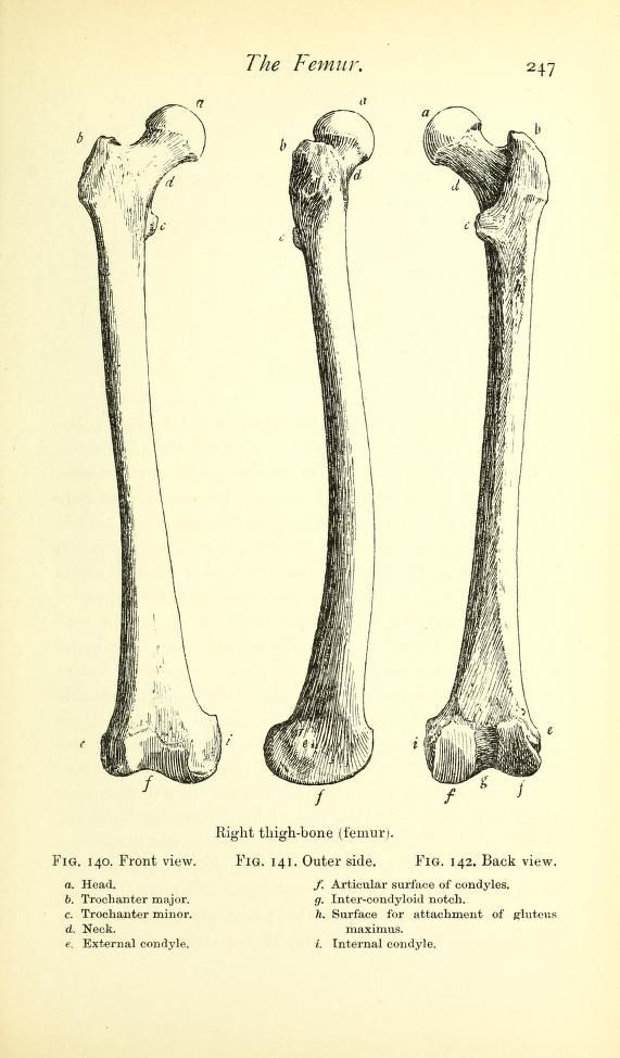 The Femur From A Handbook Of Anatomy For Art Students By Arthur