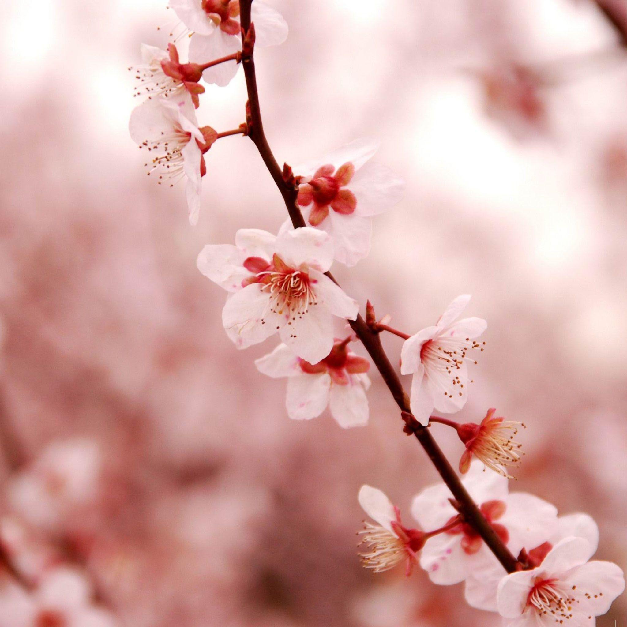 Pink Cherry Blossom Beauty Spring Desktop 2048 X 2048 Ipod