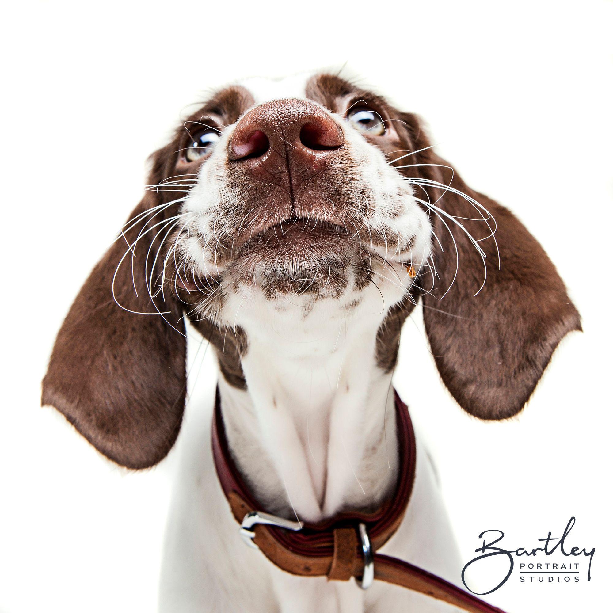 Pet Dog Portrait Photography Dog Portrait Photography