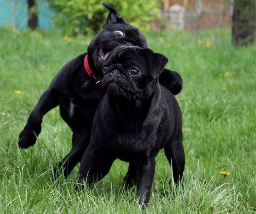Chandler Az Pug Chihuahua Mix Meet Darci A Puppy For Adoption