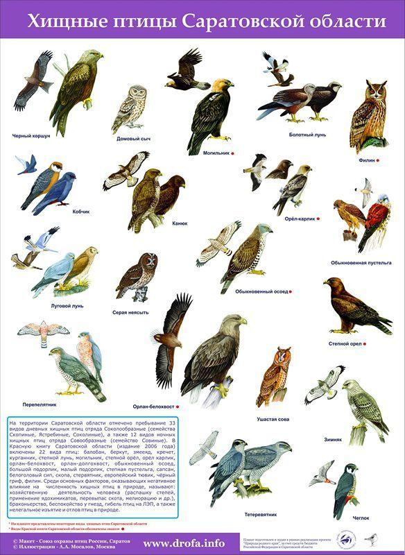 десне хищные птицы саратовской области совы, основном