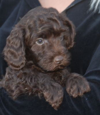 Available Large Miniature Small Medium Chocolate Male