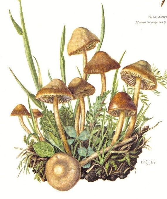 1962 scotch bonnet or fairy ring mushroom marasmius for Fairy on a mushroom drawing