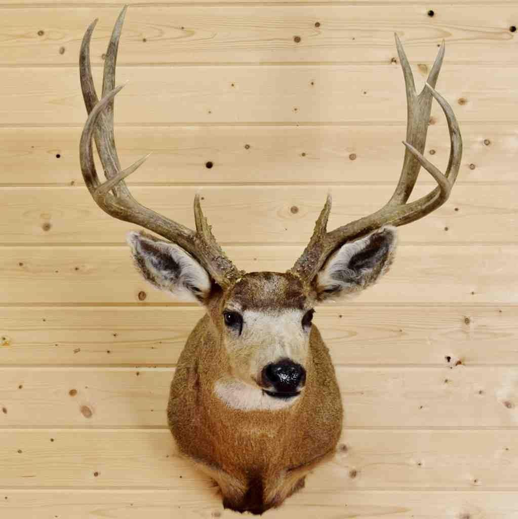 Mule Deer Taxidermy Mount - SW4313 | Mule deer and Taxidermy