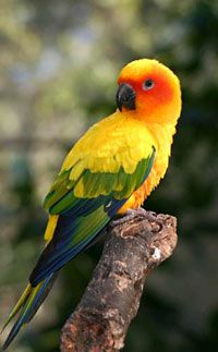Jenday Conure: I used to have two of these things. worst noise in the house ever!