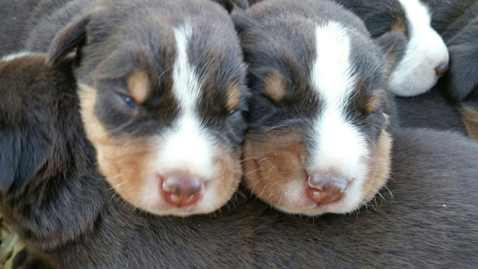 So Sehen Wir Im Alter Von Zwei Wochen Aus Sennenhund Appenzeller Hund Hunde