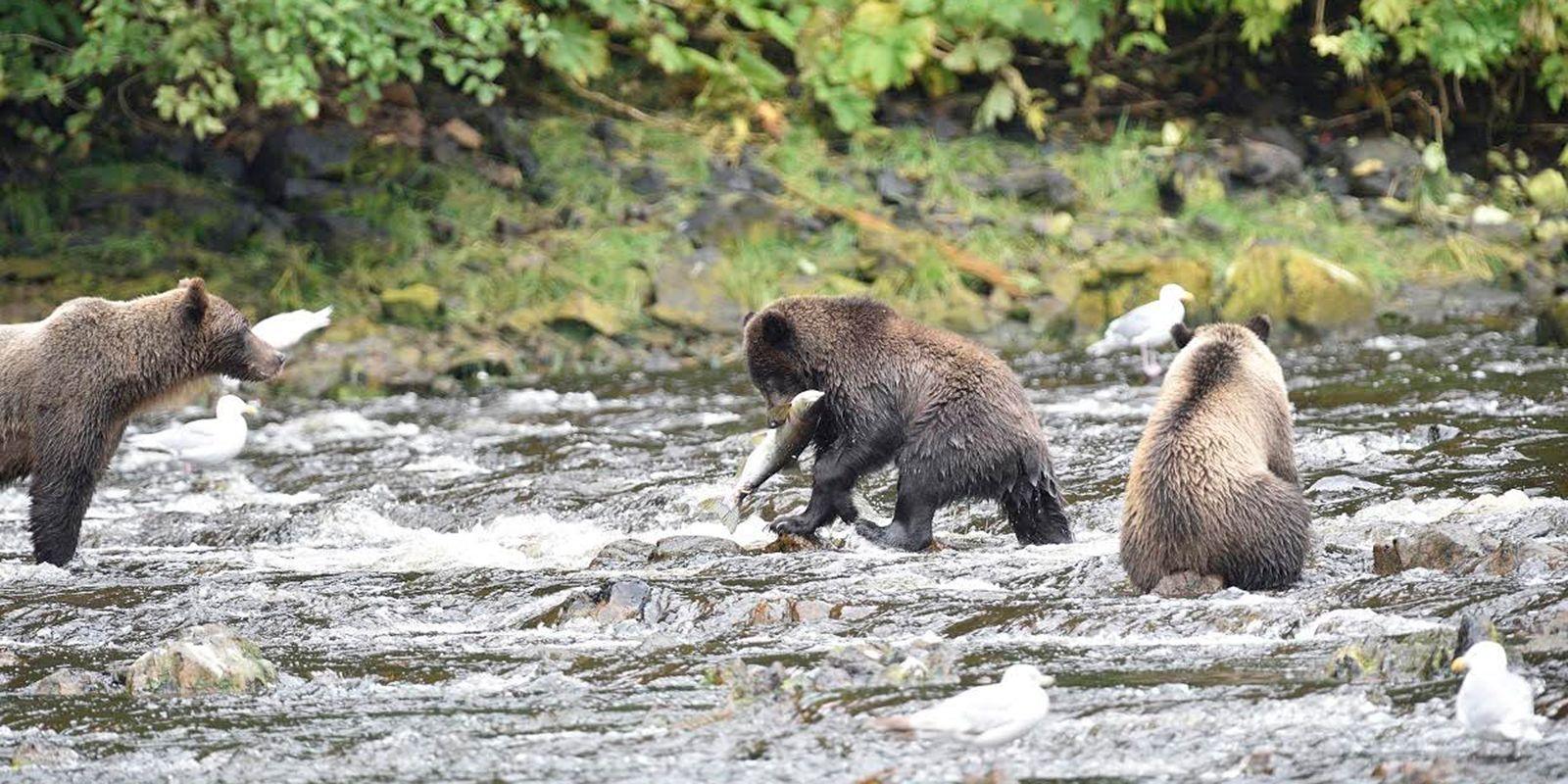 Bear Viewing On Admiralty Island Near Juneau Alaska Travel