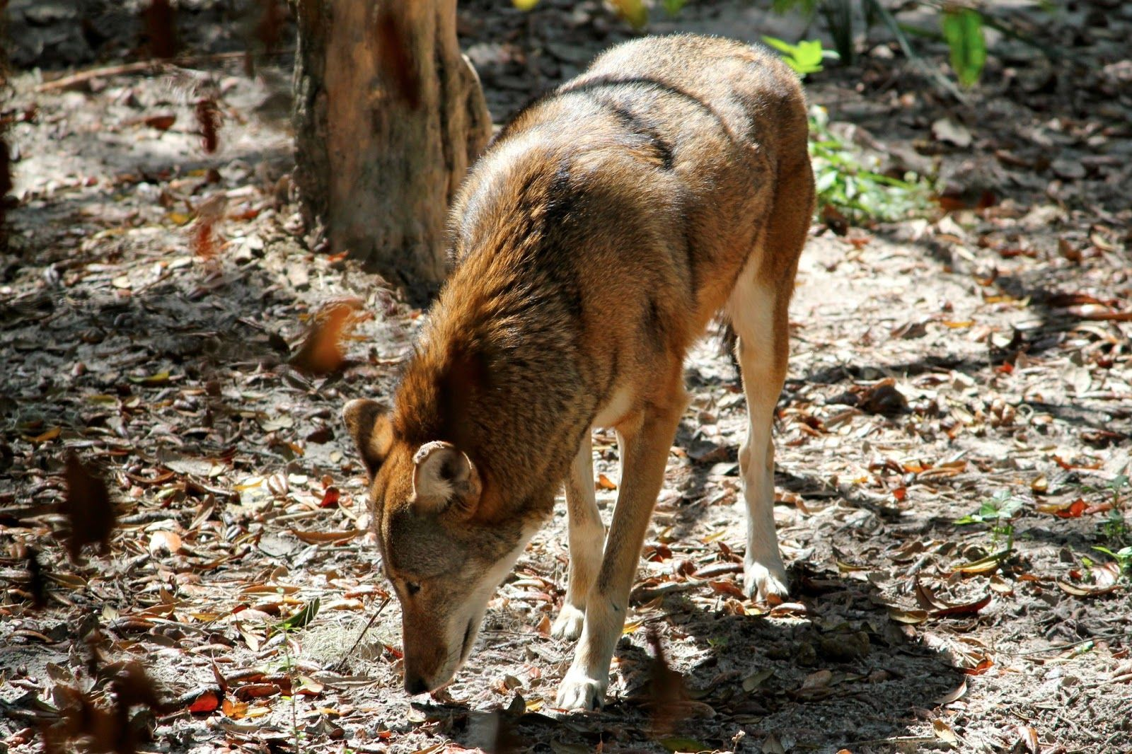 Red wolf at the Lowry Park Zoo in Tampa, Florida | Southeast