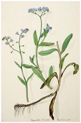 forget me not botanical illustration