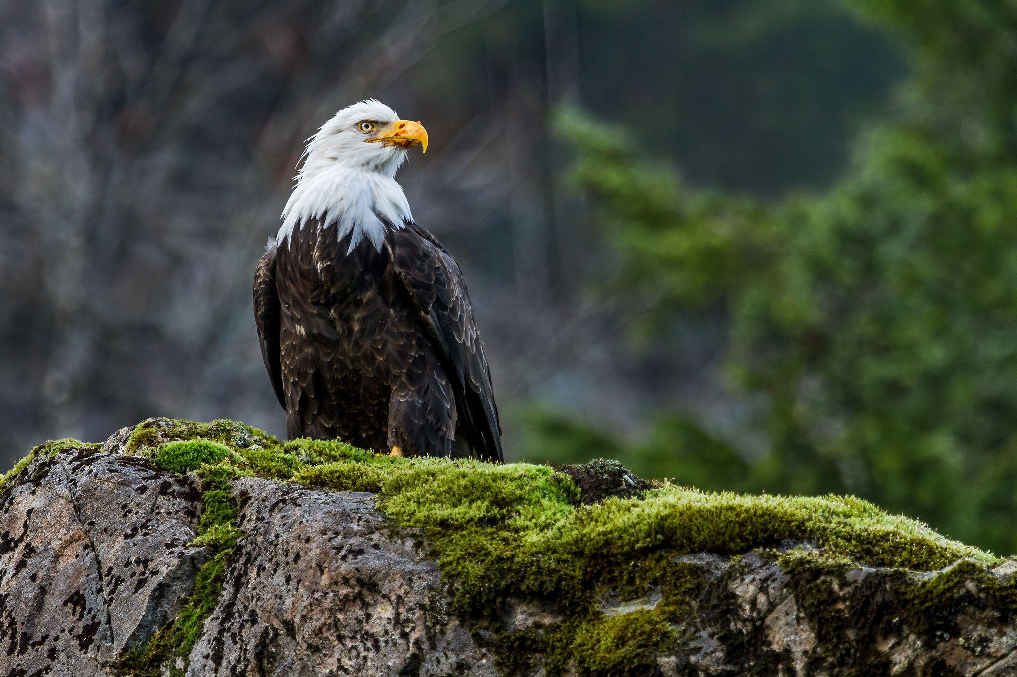 Fullsize Of Bald Eagle Wallpaper