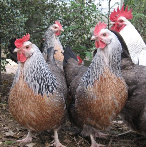 poultry roosters mature