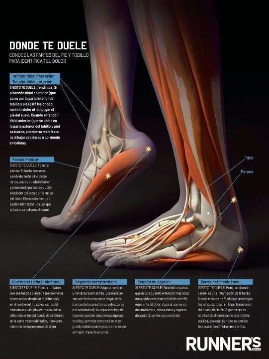 Partes del pie,anatomía | Original indoorwalking certification ...