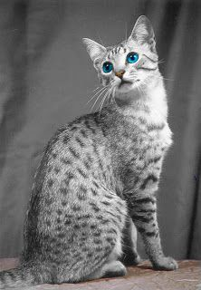 Egyptian Mau Is As Old As Egyptian History And Perfectly Reflects The Egyptian Beauty As Well The Cat Originated Thousands Cat Breeds Egyptian Mau Pretty Cats