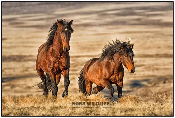 Brown Wild Horses On The Move Wild Mustang Photography Art Equine Wall Art By Rob S Wildlife Horse Photography Horses Wild Horses