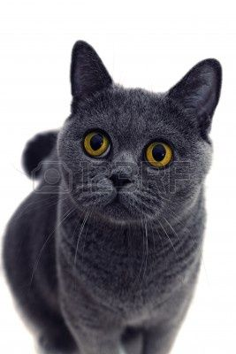Portrait Of Young Short Haired British Gray Cat With Yellow Eyes Grey Cats Cats And Kittens Cats