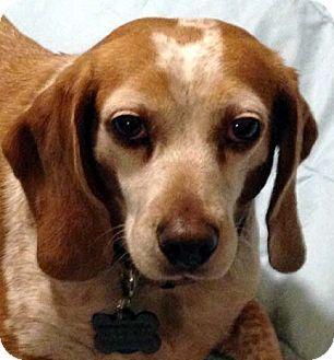 Houston Tx Beagle Meet Ginger Sweet Girl A Dog For Adoption