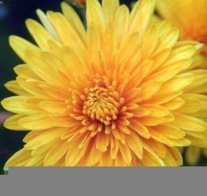 500 Yellow Chrysanthemum Morifolium Flower Seeds By Seedville 2 00 A Favorite Of Florists For The Stunning Beauty Attracts Bees Birds And Seruni