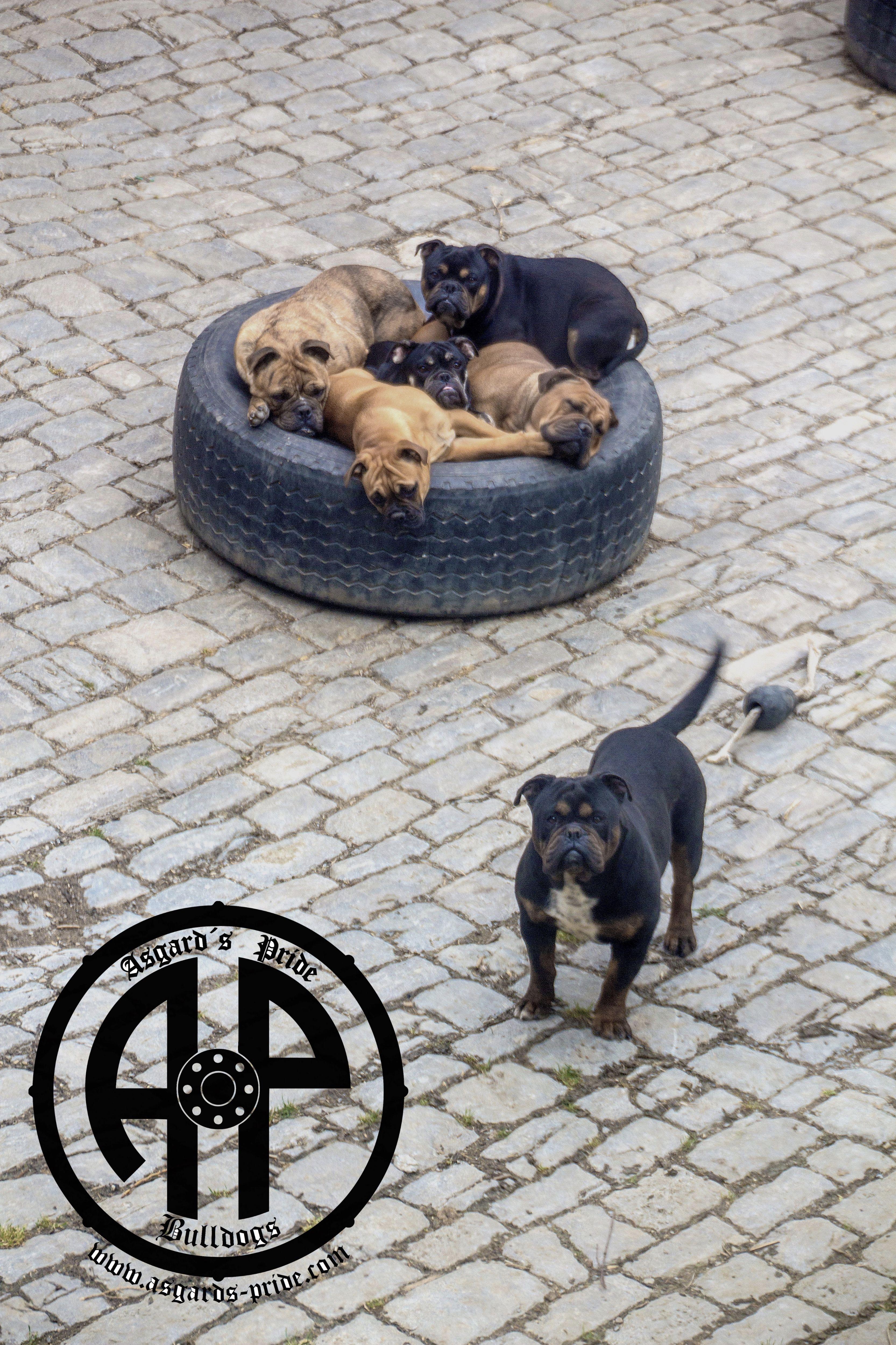 Canneo And Continental Bulldogs Sleeping In A Tyre Ap Hagal Has No Space Left Continental Bulldog Englische Bulldogge Bulldogge