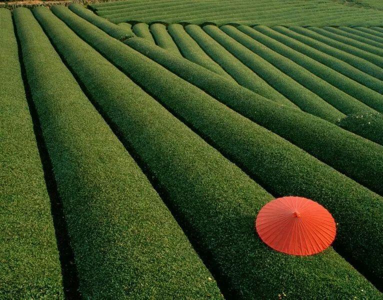 Giappone, piantagione di tea