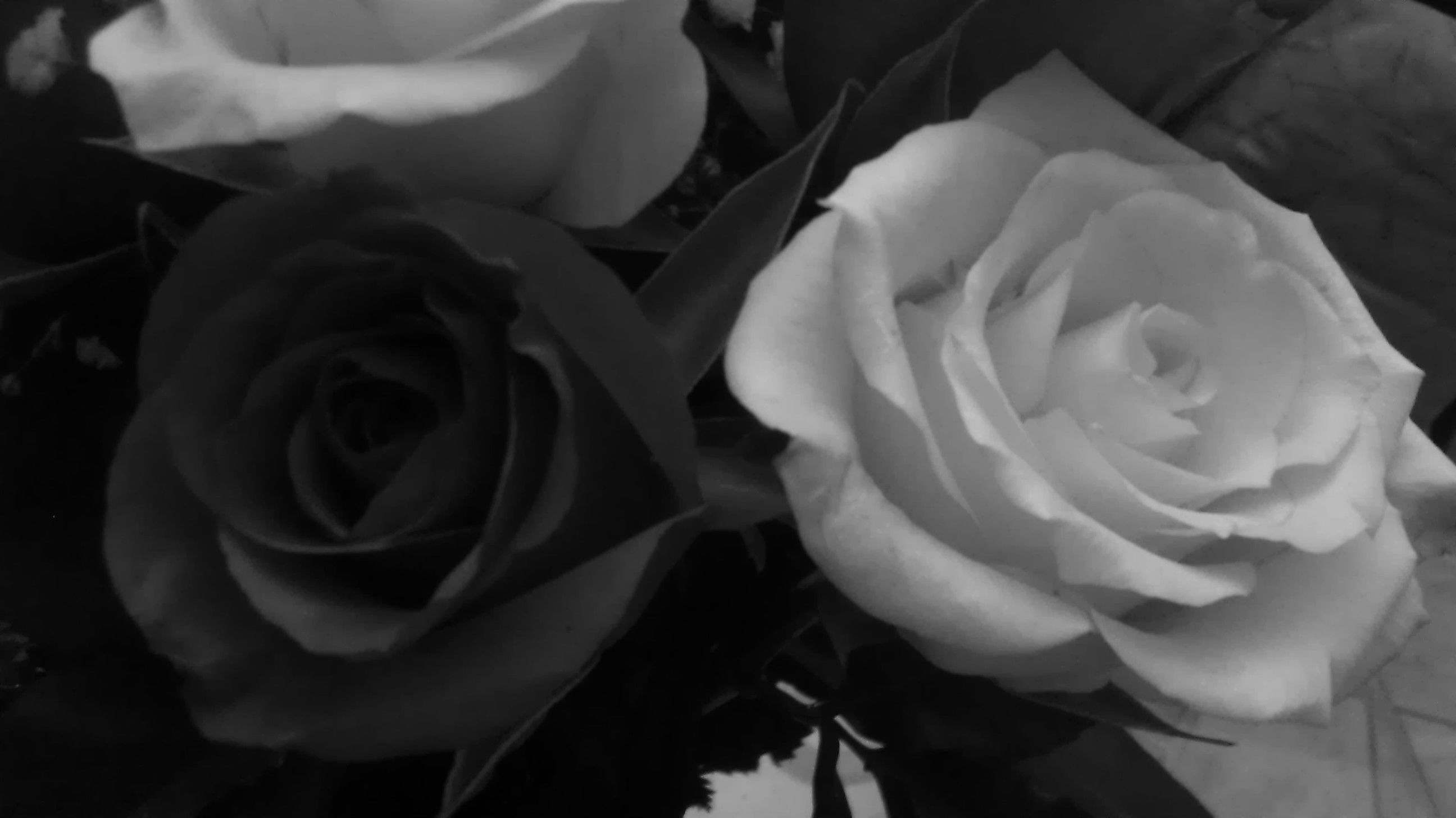 Yellow and red roses in black and white